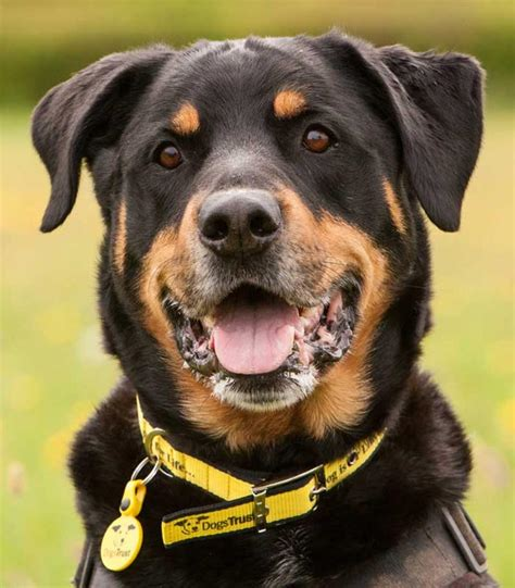 rottweiler page sponsor a max rottweiler dogs trust
