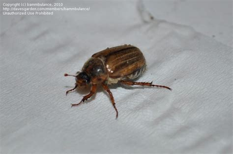 beetle garden pest identification insect and spider identification closed unknown large