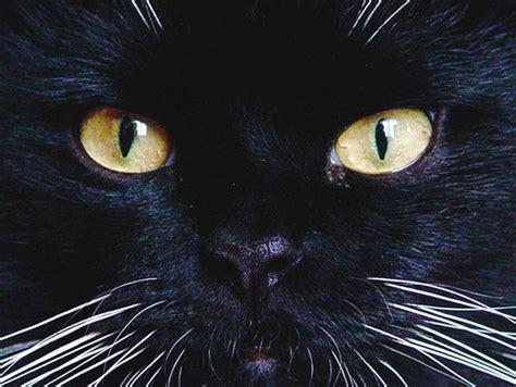 gatto nero nasce il movimento lo tutela