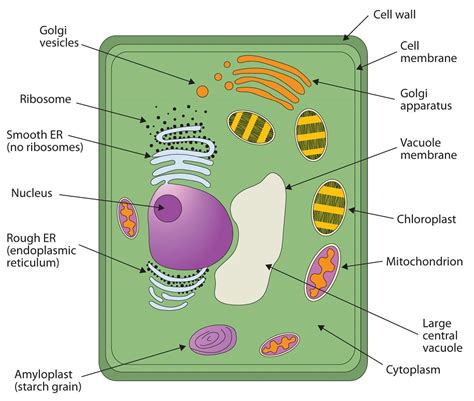 which plant cell organelle uses light energy to produce sugar cells mr winkelhage s website