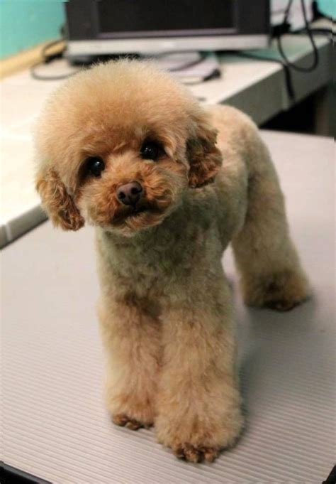 good razor for teddy bear cut poodle teddy bear haircut jemma jax bluz pinterest