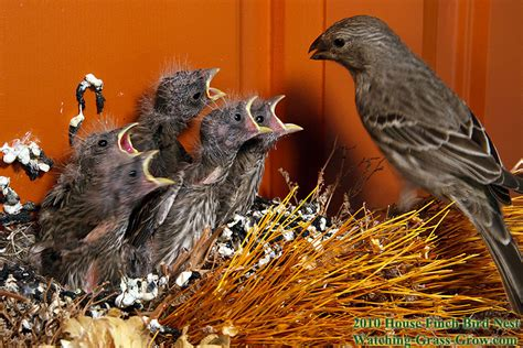 house finch nest house finches nest again in 2011 live webcam