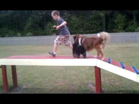 yorkie doing tricks lola the sheepdog doovi