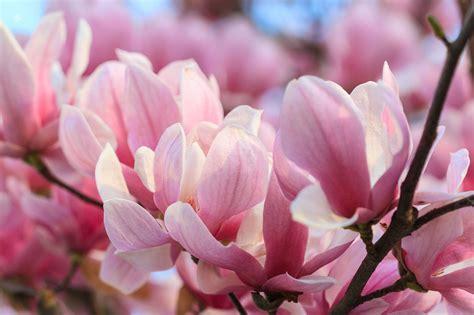 magnolia fiore significato il significato dei fiori la magnolia nel linguaggio dei