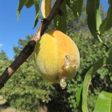 fruit tree fungus identification tree problems