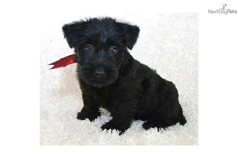 scottish terrier puppies for sale ohio scottish terrier puppy for sale near akron canton ohio 6c8b374d af31