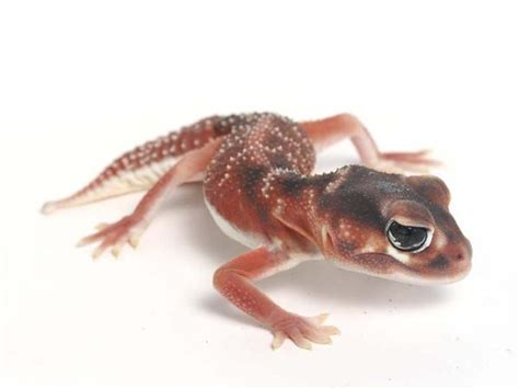 Smooth Knob Tailed Gecko For Sale by Smooth Knob 101111 Gecko
