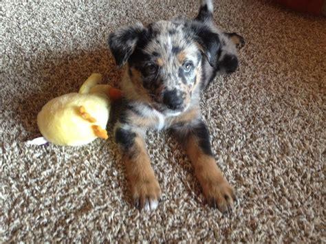 irish setter dogs for sale australia rottweiler irish setter australian shepherd mix dog