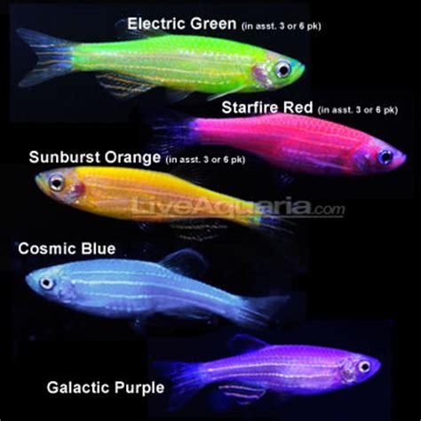 glofish colors new glofish color blue page 2