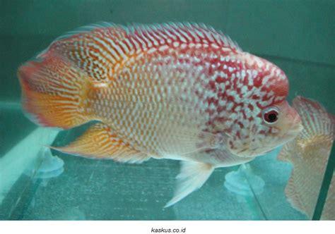 Pakan Ikan Hias Louhan cara mudah budidaya ikan louhan serta perawatannya