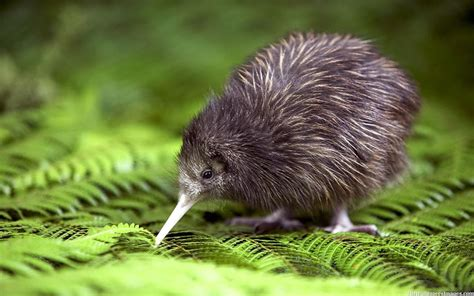 can dogs eat kiwi kiwis the national bird of new zealand fact about plant