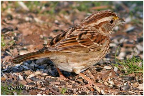 white throated sparrow brown striped photo bob moul