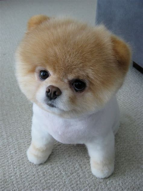 what type of is boo the pomeranian what breed is this forums
