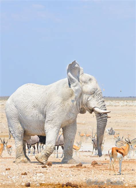 are etosha elephants green white grey or brown africa