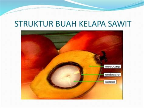 Minyak Kelapa Sawit Terbaru buah minyak kelapa sawit