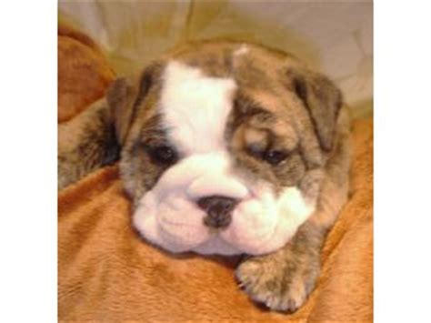 puppies for sale hawaii bulldog for sale honolulu hi breeds picture