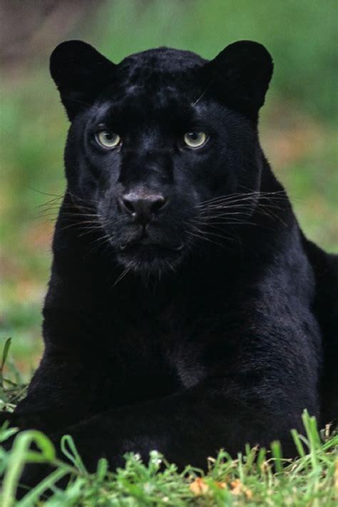 Black Leopard amur spirits limited home amur spirits limited