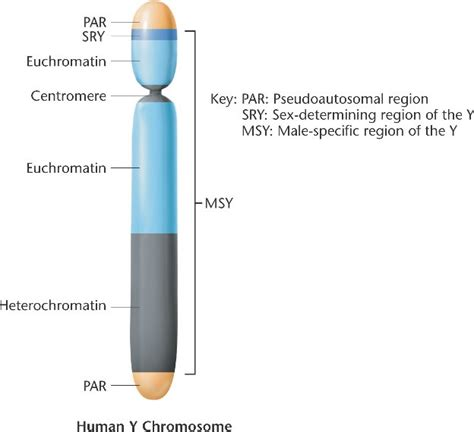 human biology - Can a Turner syndrome patient develop male ... Y Chromosome Microdeletion