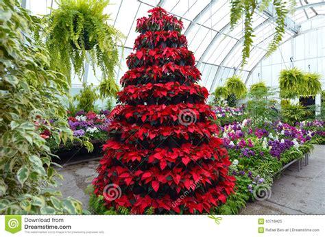 krismas tree to botni name christchurch botanical garden greenhouse new zealand stock photo image 63718425