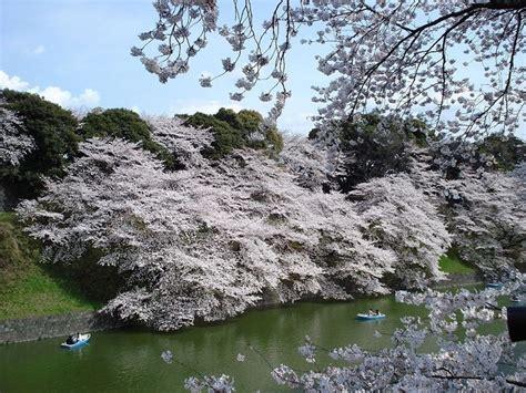 significato dei fiori di ciliegio per i giapponesi fiori di ciliegio giapponesi significato fiori i fiori