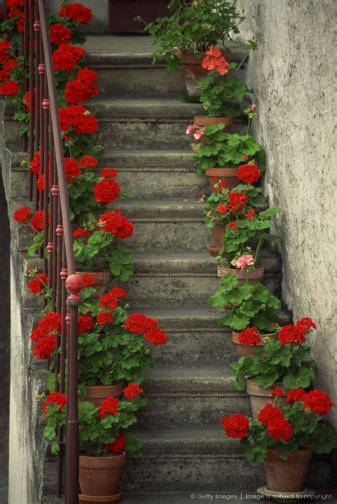 potted geraniums lining sides  stairway geraniums