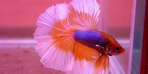 Pakan Ikan Cupang Selain Cacing peluang usaha cara budidaya ikan cupang hias peluang