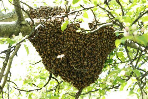 swarming verb honeybees propagation method to