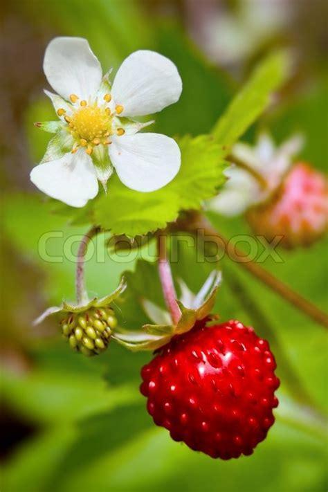 wild strawberries plant  green leaves stock photo