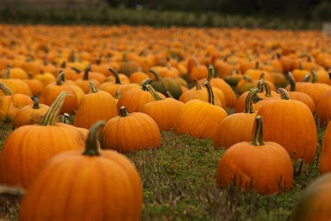 Pictures Of Pumpkins For Halloween - pumpkins for halloween vcrown