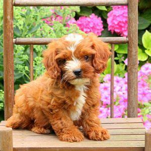 cavapoo puppies for sale ny 1000 ideas about cavapoo for sale on cavapoo puppies cockapoo for sale