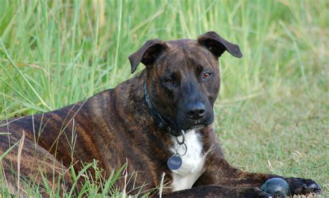 brindle colored dogs brindle breeds treeing tennessee brindle