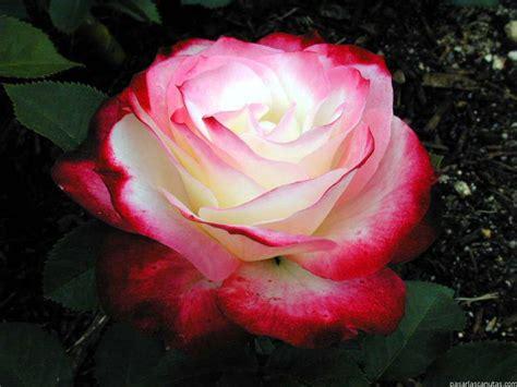 imagenes a rosas fotos de rosas 2 pag 9 fotos flores