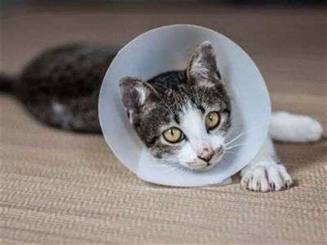 cost to neuter a veterinary costs how much does it cost to neuter a cat
