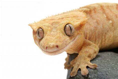 Do Crested Geckos Need Heat Ls by Crested Gecko Vivarium Setup Vivarium World