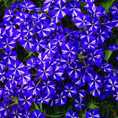 Lanai Pictures verbena lanai purple star jpg