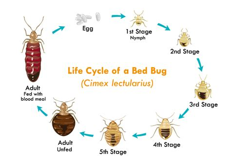 stages   bed bugs life pronto pest management