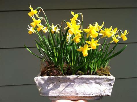 narcisi fiori il narciso fiori fiore narciso