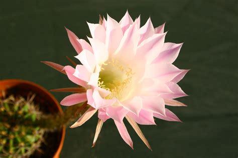 pianta grassa con fiori rosa fiori 12mq pagina 15