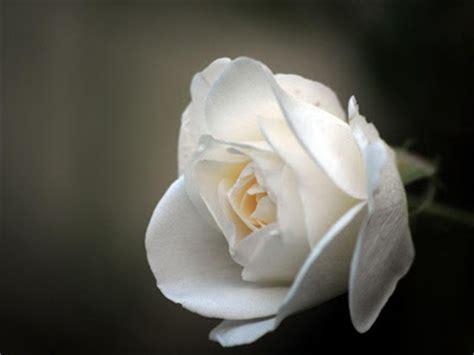 wallpaper bunga rose putih gambar bunga mawar putih download gambar gratis