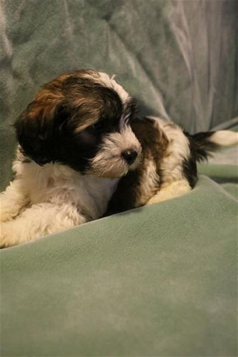 havanese rescue bay area 17 best images about rescue pups dogs on australian shepherd mix poodles