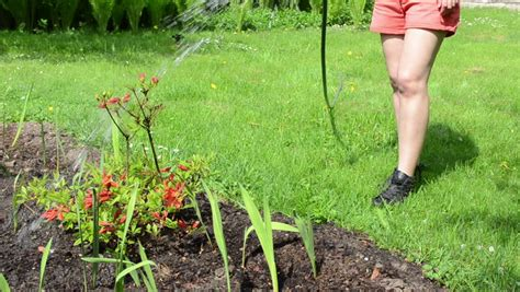 Woman Legs In Shorts Watering Orange Color Rhododendron
