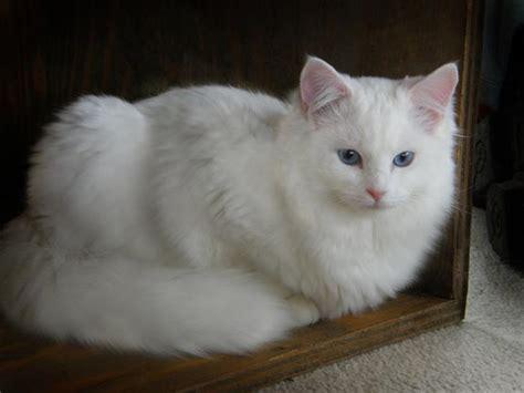 ragdoll white cat blue eyed white o noon ragdoll cats