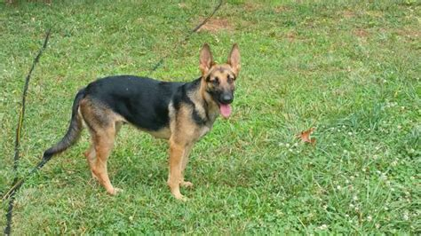 haired german shepherd puppies for sale in michigan german shepherd puppies for sale in michigan