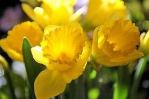 march birth flower the old farmer s almanac