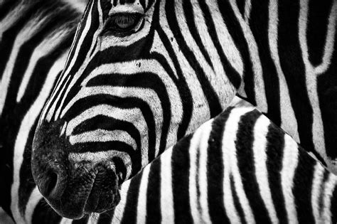zebra like pattern zebras facts cool kid facts