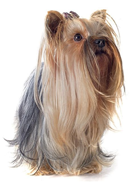 how much to feed a yorkie per day best food for terriers keeping your healthy jerusalem post