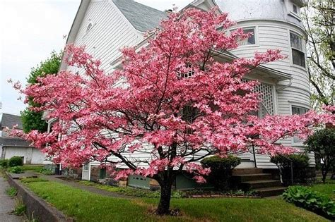 light pink dogwood tree www pixshark com images galleries with a bite