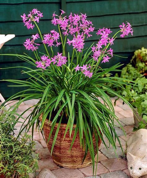 tulbaghia violacea balcony garden web