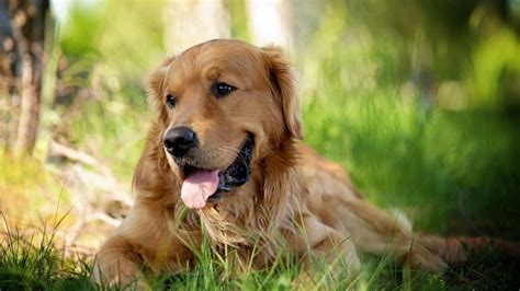 green golden retriever top 10 things golden retrievers don t like