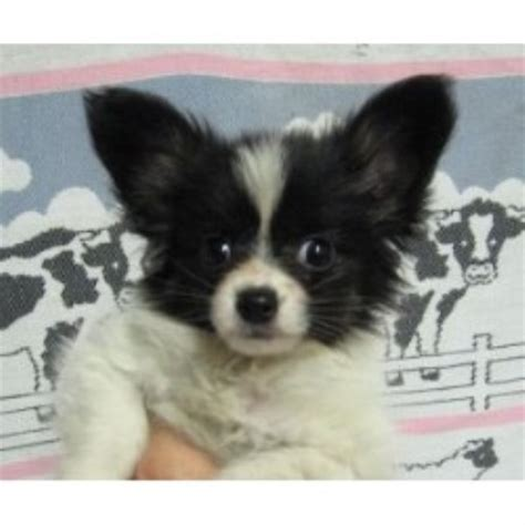 papillon puppies for sale mn donneta s pups papillon breeder in stonewall oklahoma